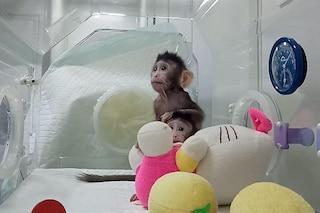 Zhong Zhong e Hua Hua, le prime scimmie clonate con la tecnica della pecora Dolly