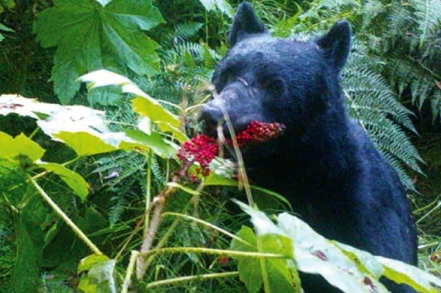 Un orso fotografato dalla fototrappola installata dai ricercatori. Credit Taal Levi