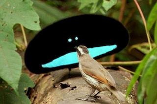 Esistono davvero e hanno le penne più nere di sempre: chi sono gli uccelli del paradiso