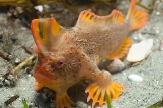 Non nuota ma cammina: il pesce più raro del mondo avvistato in Tasmania. Il video