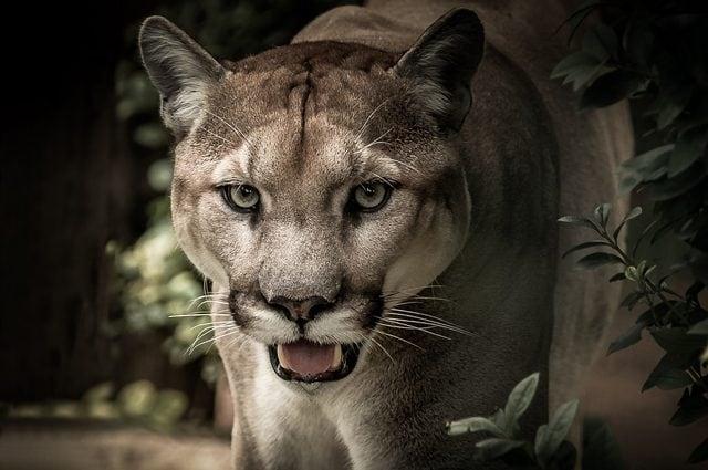 Puma occidentale: Credit lanZA