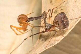 Un ragno che sembra un pellicano è uno spietato cannibale che infilza le prede
