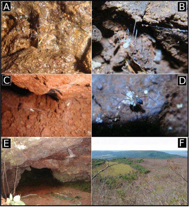 A) Ochyrocera varys B) Ochyrocera atlachnacha C) Ochyrocera misspider D) Ochyrocera varys