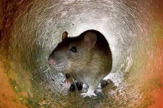 Primo uomo al mondo infettato dal virus dell'epatite E da un ratto: quali sono i rischi