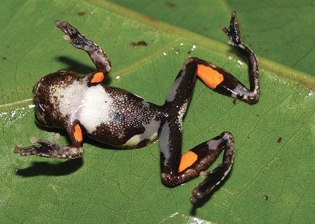 Le chiazze arancioni della rana D. kubricki