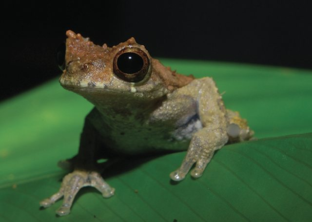 La rana D. kamagarini