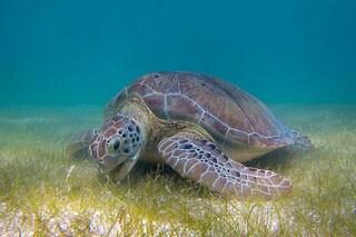 Fa troppo caldo e il 99% delle tartarughe nasce femmina: è colpa del riscaldamento globale
