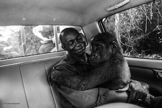Il sorriso di Pikin, gorilla salvata dal macello, vince il Wildlife Photographer of the Year