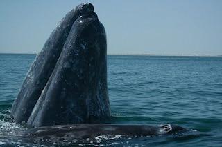 Le balene sfruttano il rumore che fanno i gamberetti 'pistoleri' per trovare la cena pronta