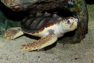 Le tartarughe hanno tanti papà e questo le salverà dall'essere umano