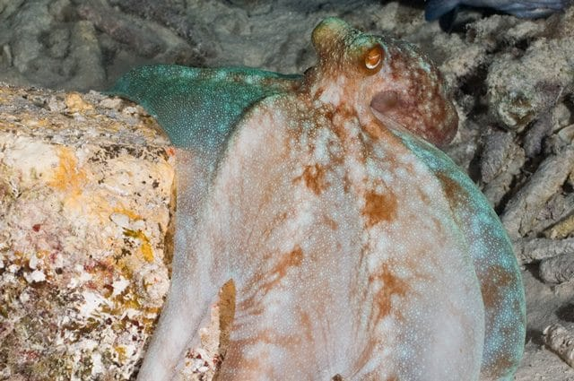 Un esemplare adulto di polpo della barriera caraibica. credit: Alessandro Dona