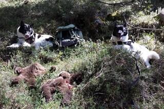 Chi è l'orso bruno che ha ucciso due cuccioli e la loro madre in Trentino e perché l'ha fatto