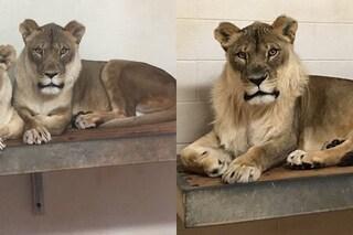 L'assurdo caso della leonessa Bridget a cui è cresciuta la criniera di un leone maschio