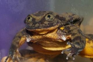 Romeo, la rana più sola del mondo cerca l'amore: la campagna per salvarlo dall'estinzione