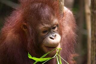 Abbiamo ucciso 150.000 oranghi del Borneo in 16 anni e ora sono a rischio estinzione