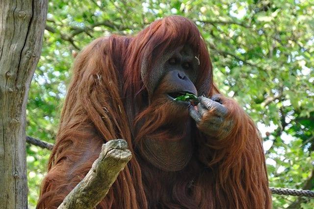 Maschio di orango del Borneo adulto. Credit: David Arvidsson