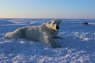 Gli orsi polari stanno morendo di fame più in fretta del previsto ed è solo colpa nostra
