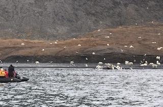 Centinaia di orsi polari mangiano una balena morta: perché queste immagini sono rare