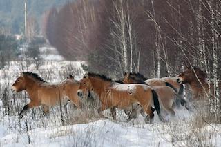 Perché è una bufala dire che i cavalli selvatici esistono