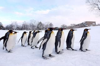 Quando il pinguino reale morirà di fame per colpa nostra
