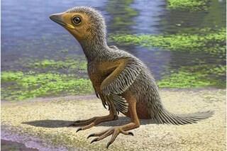 Il baby fossile di 127 milioni di anni svela com'erano gli uccelli ai tempi dei dinosauri