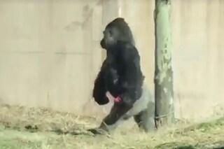 Il gorilla Louis ha un ottimo motivo per camminare su due zampe e non possiamo dargli torto