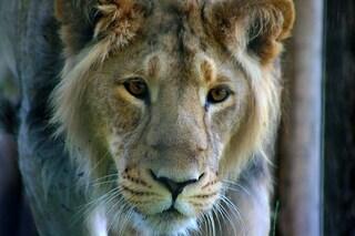Stiamo salvando il leone asiatico in via di estinzione: cresce il numero di esemplari