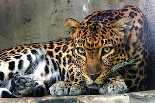 Abbiamo ucciso il 72% dei leopardi indocinesi in Cambogia: adesso rischiano l'estinzione