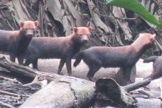 Si chiamano 'speoti' gli schivi canidi avvistati in Ecuador: le rare immagini