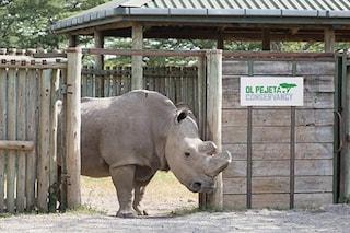 È morto Sudan, l'ultimo rinoceronte bianco settentrionale, era solo e malato: rischio estinzione