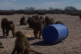 Come hanno fatto questi 4 babbuini a fuggire da un centro per la sperimentazione animale