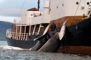 Caccia alle balene, gli islandesi hanno deciso di uccidere più di 2mila cetacei entro 5 anni