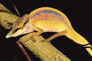 Le immagini del Camaleonte 'arcobaleno' appena scoperto in Madagascar