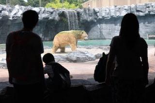 È morto Inuka, l'unico orso polare nato ai tropici: non ha mai vissuto la libertà