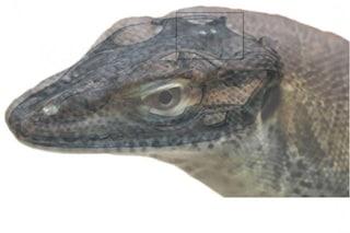 Una strana lucertola con quattro 'occhi' è vissuta 49 milioni di anni fa