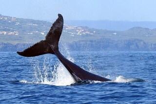 L'emozione di navigare al fianco della balena più grande del mondo durante la migrazione