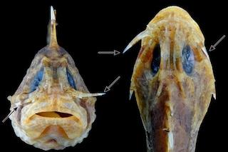 Un coltello a serramanico sotto agli occhi: la letale arma dei velenosissimi pesci pietra