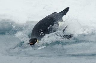 Record di immersione del pinguino imperatore: 32 minuti sott'acqua