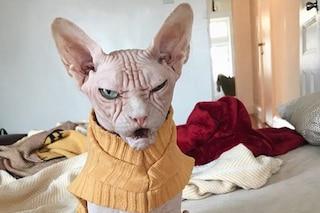 Sphynx, il felino nudo: tutto sulla razza di Loki, il gatto più arrabbiato del mondo