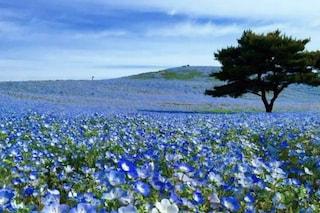 La fioritura spettacolare della Nemophila Blu in Giappone: le immagini