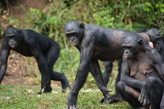 Le bonobo sono 'ostetriche' provette: come noi, aiutano le compagne a partorire