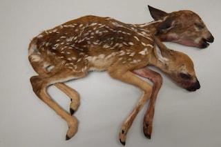 Cerbiatto a due teste, la creatura della foresta attira la curiosità degli scienziati