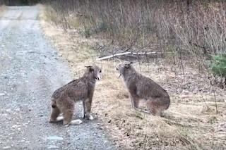 Queste due linci che litigano tra loro, urlano proprio come noi: l'esilarante video