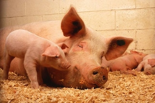 C'è un nuovo virus letale dei maiali che preoccupa gli scienziati: siamo a rischio contagio