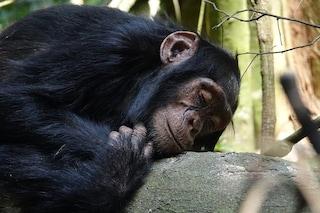 Gli scimpanzé dormono in letti più puliti dei nostri