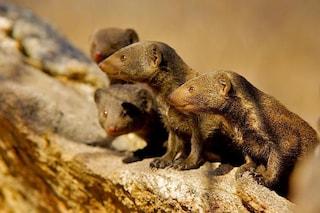 Le manguste ci insegnano il valore dell'amicizia: così si scambiano favori fra loro
