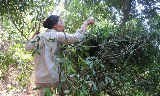 Raccolta di campioni da un nido di scimpanzé. Credit: Fiona Stewart