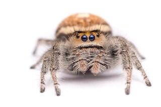 Kim, il ragno addestrato a saltare, aiuta gli scienziati a creare i robot del futuro: video