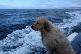 Pirata, il cane 'marinaio' delle Azzorre che osserva le balene dal gommone: il video