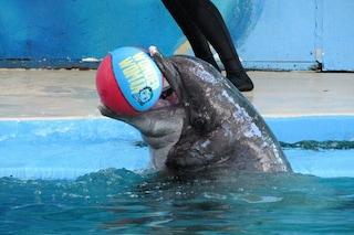 Semo, il delfino in cattività più vecchio del mondo, è finalmente libero: morto a 54 anni